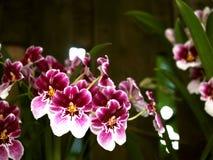 Orchidées roses au jardin botanique Photo stock