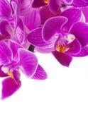 Orchidées roses dans les baisses Images libres de droits