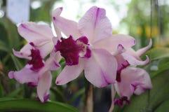 Orchidées roses de cattleya Photographie stock libre de droits