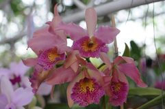 Orchidées roses de cattleya Photos stock