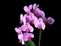 Orchidées roses de Phalaenopsis Photographie stock libre de droits