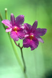Orchidées roses en nature Photos stock