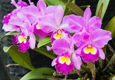Orchidées roses et blanches élégantes image libre de droits