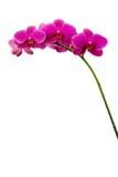 Orchidées roses foncées Photos stock