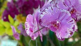Orchid?es roses pourpres color?es photographie stock