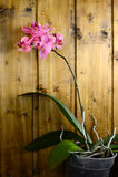 Orchidées roses sur le conseil en bois Photographie stock