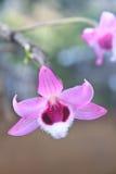 Orchidées sauvages dans la forêt de la Thaïlande Photographie stock