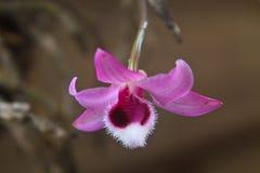 Orchidées sauvages dans la forêt de la Thaïlande Images libres de droits