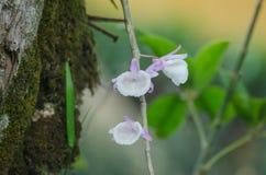 Orchidées sauvages dans la forêt de la Thaïlande Photo stock