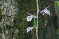 Orchidées sauvages dans la forêt de la Thaïlande Photos stock