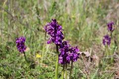 Orchidées sauvages dans le morio d'Anacamptis de pré Photo stock