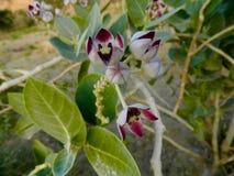 Orchidées sauvages de montagne - le désert Arabe fleurit aux Emirats Arabes Unis images libres de droits