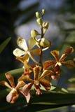 Orchidées sauvages. Le Bornéo. Photos stock