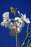 Orchidées sauvages. Le Bornéo. Photo libre de droits