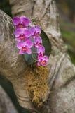 Orchidées sauvages s'élevant sur un arbre Photo libre de droits