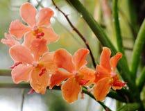 Orchidées sous l'éclairage naturel Photos libres de droits