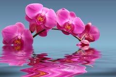 Orchidées sur le bleu Photographie stock libre de droits