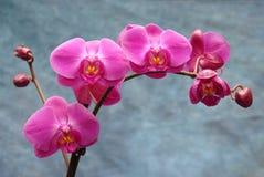 Orchidées sur le bleu Photo libre de droits