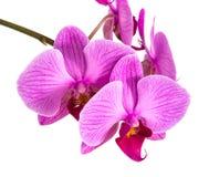Orchidées sur le fond d'isolement la belle fleur s'embranche des orchidées Photographie stock