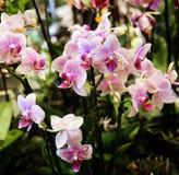 Orchidées tachetées de rose et blanches de phalaenopsis Image stock