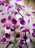 Orchidées thaïes Image libre de droits