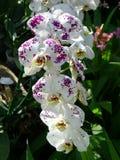 Orchidées tropicales d'orchidées blanches et pourpres Photos libres de droits