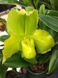 Orchidées vertes de poche Photo libre de droits