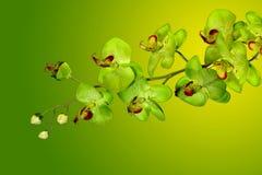 Orchidées vertes sur le jaune Image libre de droits