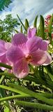 orchidées, violette, fleur de lavande, jardin, pétales, Pinamalayan rentré Philippines photos libres de droits