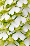 Orchid, Orchis purpurea,开花的欧洲地球野生兰花夫人的白色形式在自然栖所 bloo美好的细节  免版税库存照片