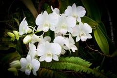 Orchid över black Royaltyfri Foto