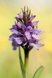 orchid άγρια περιοχές Στοκ Φωτογραφία