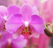 orchid ανθών Στοκ εικόνες με δικαίωμα ελεύθερης χρήσης
