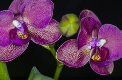 orchid απομόνωσης κόκκινο λευκό Στοκ εικόνα με δικαίωμα ελεύθερης χρήσης