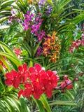 orchid απομόνωσης κόκκινο λευκό Στοκ Εικόνες