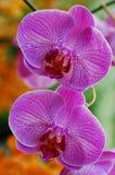 orchid βιολέτα Στοκ εικόνα με δικαίωμα ελεύθερης χρήσης