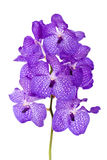 orchid βιολέτα στοκ εικόνες