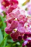 orchid η πορφυρή Vanda Στοκ φωτογραφία με δικαίωμα ελεύθερης χρήσης