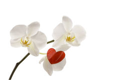 orchid καρδιών κόκκινο λευκό Στοκ Εικόνες