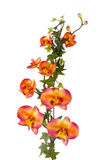 orchid κισσών στοκ φωτογραφίες