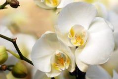orchid λευκό Στοκ Εικόνες