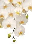 orchid λευκό Στοκ φωτογραφία με δικαίωμα ελεύθερης χρήσης