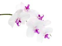 orchid λευκό Στοκ εικόνες με δικαίωμα ελεύθερης χρήσης