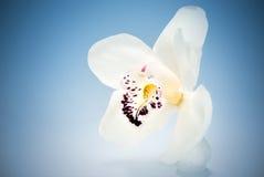 orchid λευκό Στοκ Φωτογραφίες