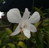 orchid λουλουδιών κλίματος αναπτύσσοντας τροπικό λευκό Στοκ εικόνα με δικαίωμα ελεύθερης χρήσης