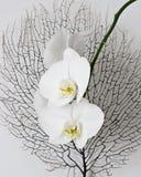 orchid λουλουδιών Στοκ Εικόνες