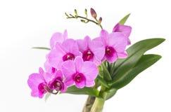 orchid λουλουδιών Στοκ φωτογραφίες με δικαίωμα ελεύθερης χρήσης