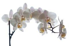 orchid λουλουδιών phalaenopsis Στοκ Φωτογραφίες