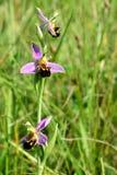 Orchid μελισσών (apifera Ophrys) Στοκ Φωτογραφίες