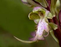 orchid λουλουδιών άγρια περι& Στοκ φωτογραφία με δικαίωμα ελεύθερης χρήσης